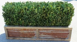 48 inch   Preserved Boxwood Hedge